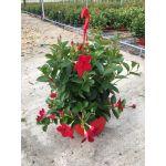 Sundavillea red