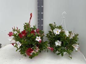 Sundavillea Bicolor + white