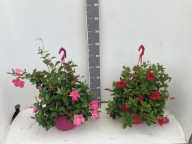 Sundavillea Pink + Red