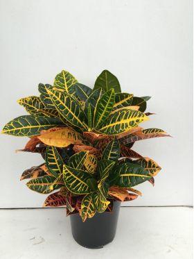 Croton vaso 21