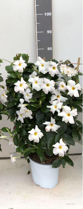 Sundavillea White